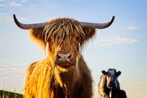 Woolly Cow by Wayne Smith.jpg